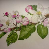 Botanical art. Original, coloured pencil. Comes framed and ready to hang.
