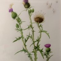Botanical Art. A framed watercolour painting of a thistle.