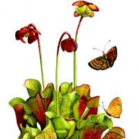 sarracenia and butterfly
